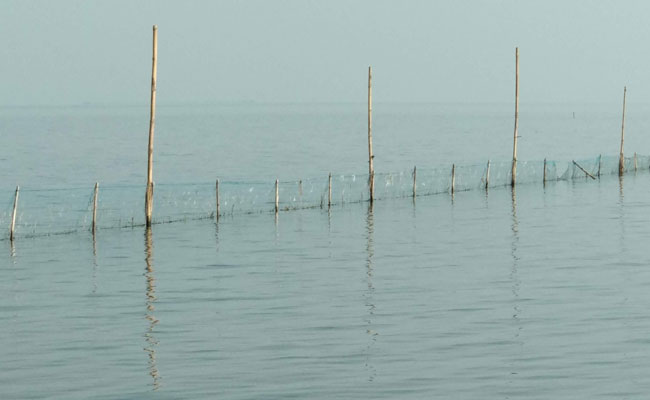 Prawn Culture In Chilika