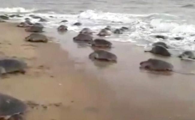 Gahirmatha Olive Ridley Turtles