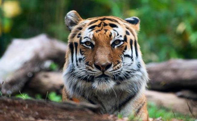 Tiger test positive for coronavirus