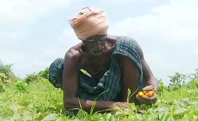 Crop damaged during cyclone amphan in odisha