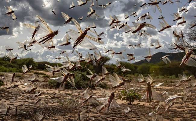 Locust Warning Sounded In Odisha