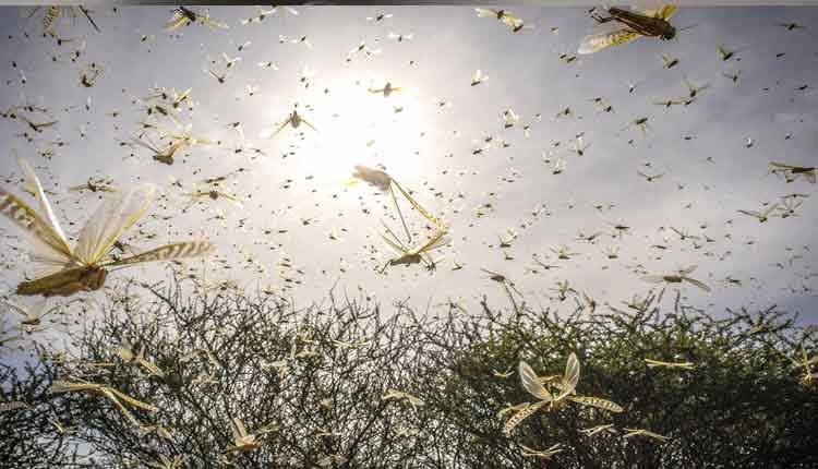 Odisha Issues SOP For Impending Locust Threat