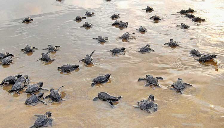 Nearly 2 Crore Olive Ridley Turtles Return To Sea From Odisha Beach