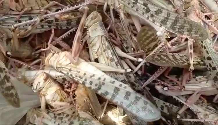 Locust Threat Resurfaces For Odisha Amid Monsoon
