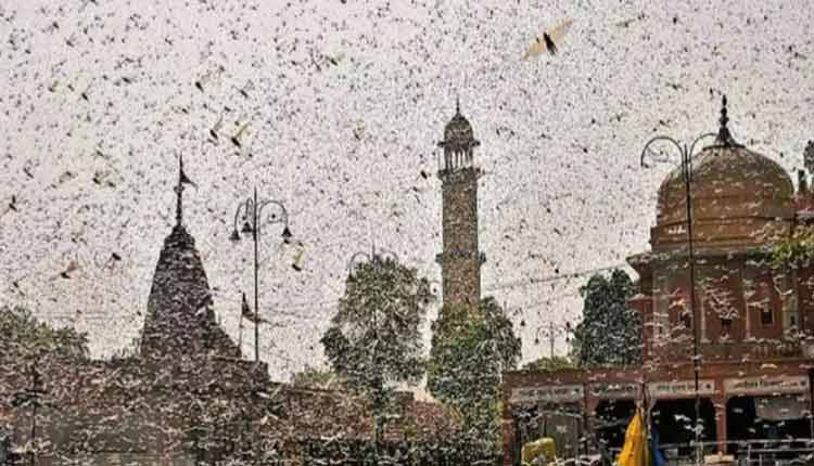 Locust Attack: After Invading UP, Swarms Enter Nepal