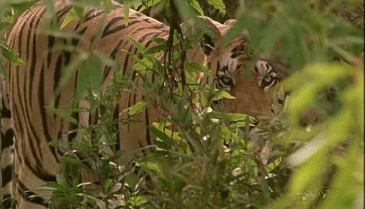 Lone Tigress in Satkosia Tiger Reserve