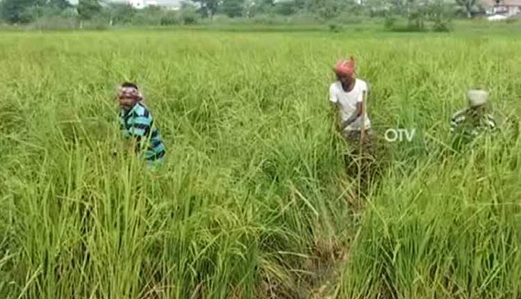 Odisha Govt Asks Collectors To Start Online Registration For Paddy Procurement
