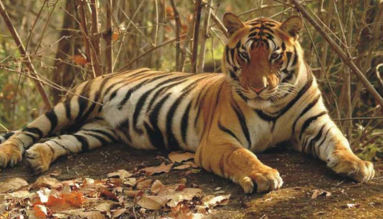 Tiger Census Sets Guinness Record For World's Largest Camera Trap Survey
