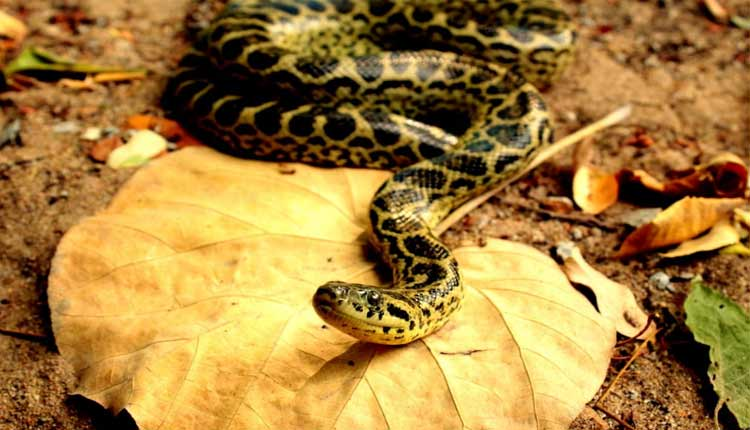 Another Yellow Anaconda Dies at Nandankanan Zoo