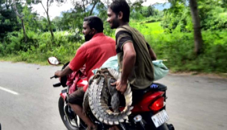 Watch: Forest Ranger Carries Crocodile On Bike, Suspended