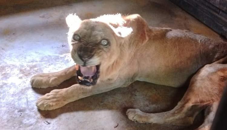 Lioness Supriya Dies at Nandankanan Zoo