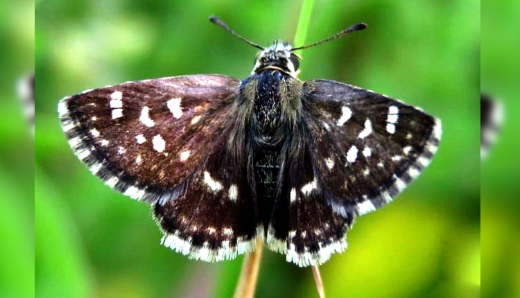 India Discovers 1328th Butterfly Species In Rajasthan