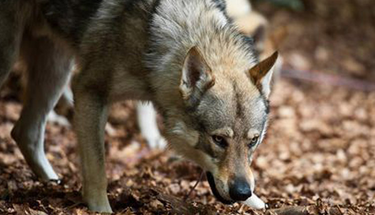 Scientists Trace Genetic Legacy Of Modern Dogs To Ice Age Canines