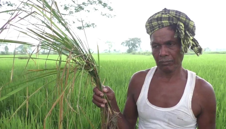 Ganjam farmers worried due to pest attack