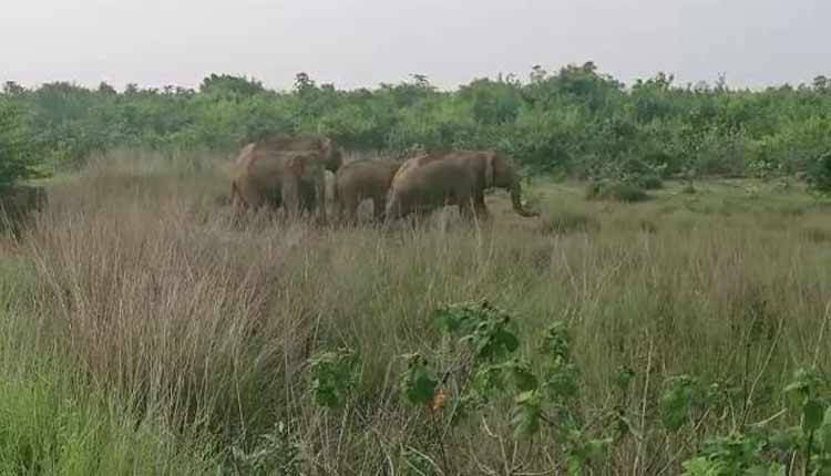 Elephant Herd Wreaks Havoc In Dhenkanal, Damages Acres Of Crop