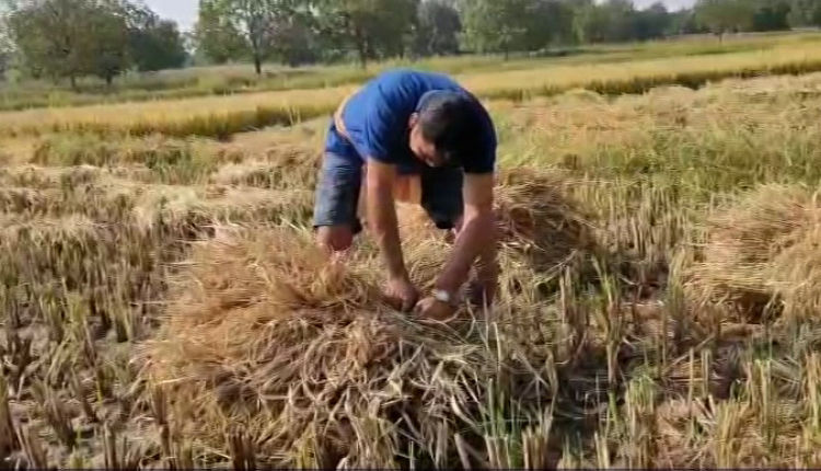 This MLA toils in paddy fields to boost morale of farmers