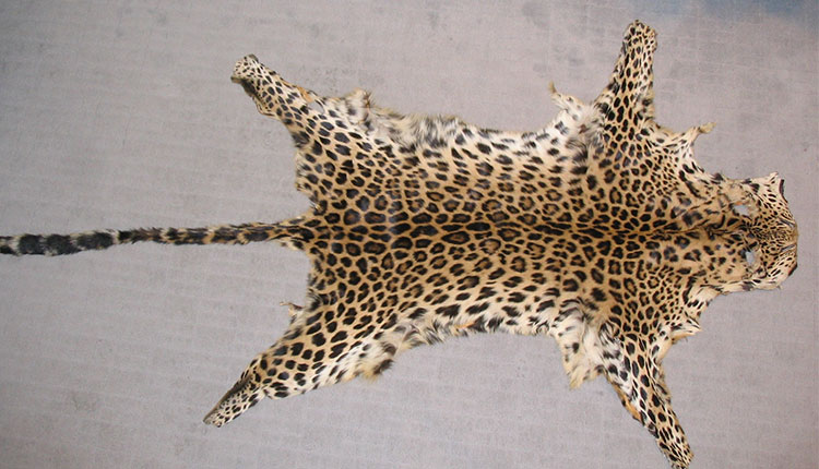 Leopard skin seized