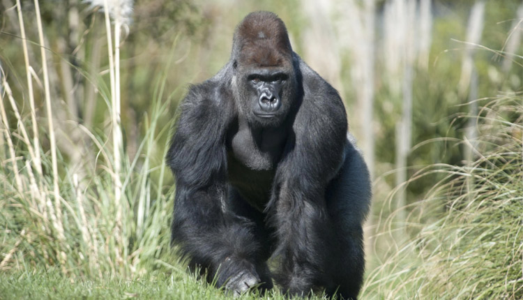 Gorillas Test Positive For COVID-19 At San Diego Park