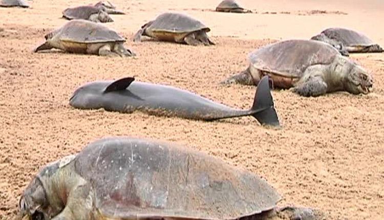 Olive-ridley turtles death