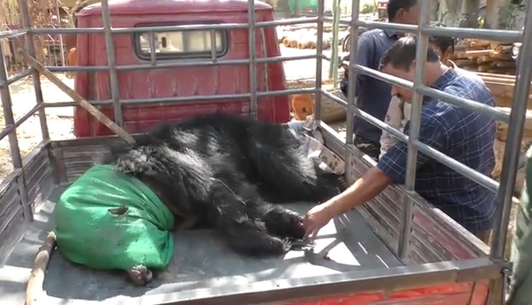 Bear Critical After Being Hit By Unknown Vehicle In Keonjhar