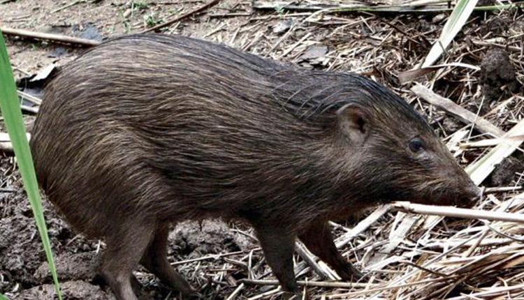 Pygmy-Hog